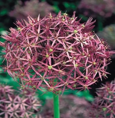 Allium und Alliumzwiebeln