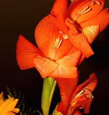 Gladiolen und Gladiolenzwiebeln