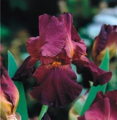 Irisse und Iris-Zwiebeln