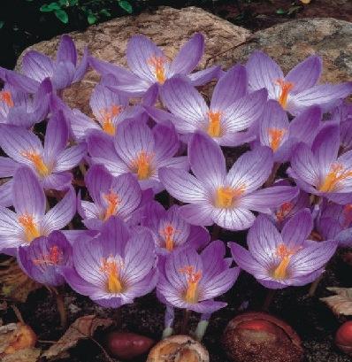 Pflanzzei für die Blumenzwiebeln