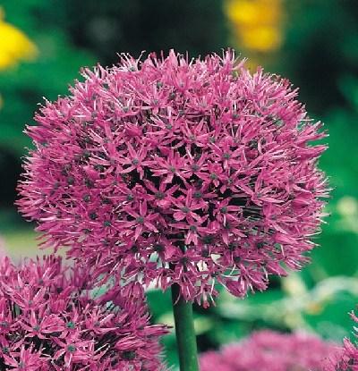 Blumenzwiebeln - allgemeine Informationen