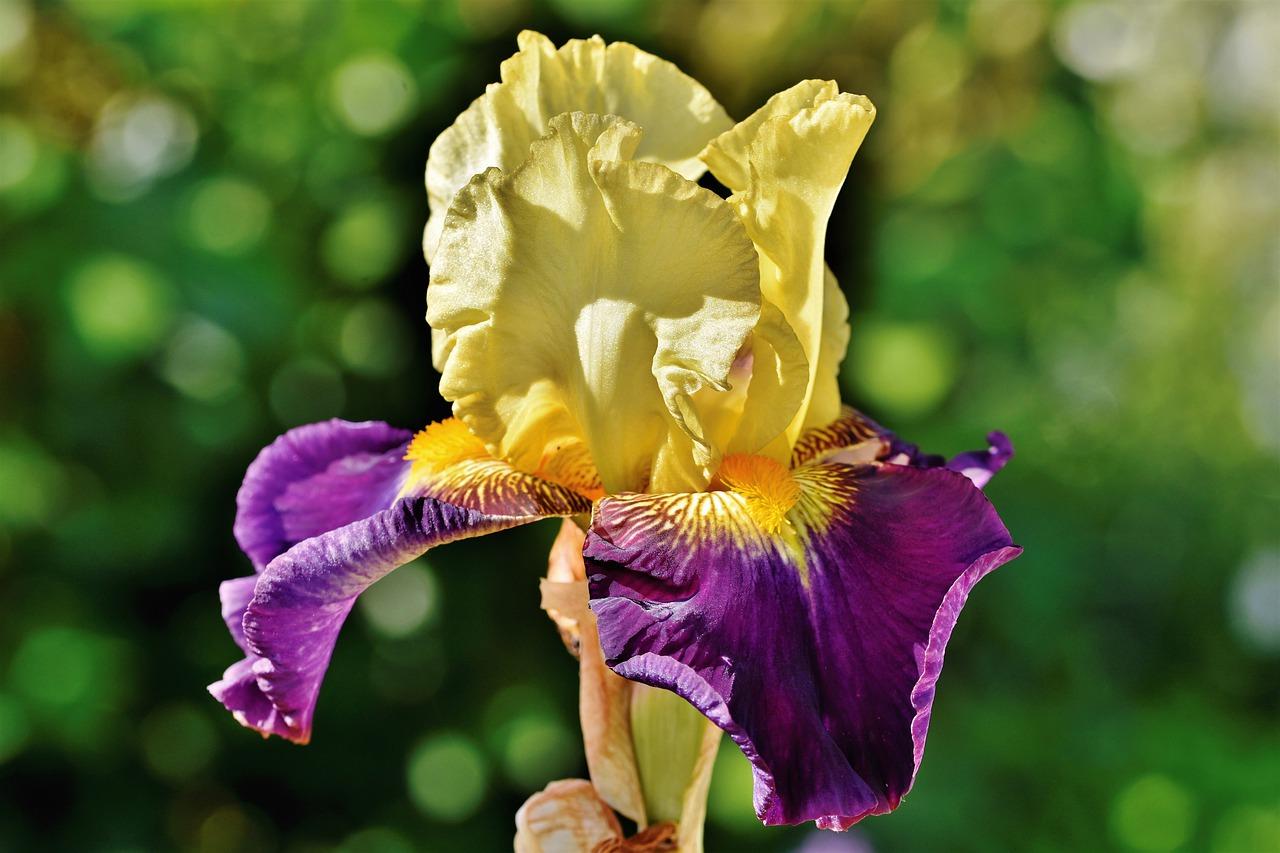Schwertlilie- bzw. Iris-Zwiebeln als Frühjahrsblüher